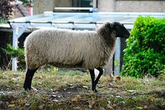 Black Pete Sheep