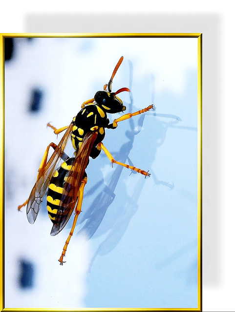 Wasp in the 'steep wall'... ©UdoSm