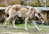 """Der alte Wolf (3): """"So ein bisschen Stretching wirkt wahre Wunder!"""""""