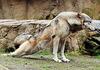 """Der alte Wolf (2): """"Und meine Hinterläufe sind völlig verkrampft!"""""""