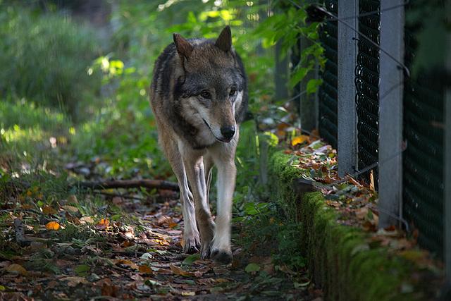 20151010 9260VRTw [D~H] Wolf (Canis lupus), Wisentgehege, Springe-Deister