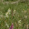 Almwiesen mit wilden Orchideen (PIP - PIC in PIC)