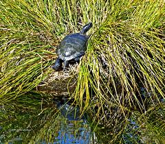 Pazifische Sumpfschildkröte (Actinemys marmorata)