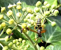 Wespe und Ameisen. ©UdoSm