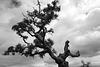 Azinheira, Quercus ilex, BW