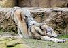 """Der alte Wolf (1): """"Wau, iss mein Rücken steif!"""""""