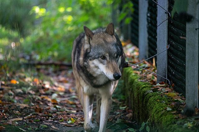 20151010 9261VRTw [D~H] Wolf (Canis lupus), Wisentgehege, Springe-Deister