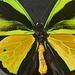 Ornithoptera goliath atlas (Indonésie)