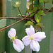 ... fleur de barrière ...
