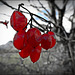 the last fruits - red -