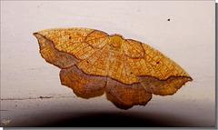 Epione repandaria femelle.