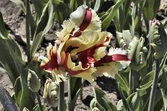 Serrated Tulip – Canadian Tulip Festival, Dow's Lake, Ottawa, Ontario, Canada
