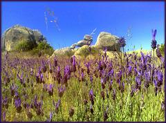 Spanish lavender and granite, La Sierra de La Cabrera, for Pam!