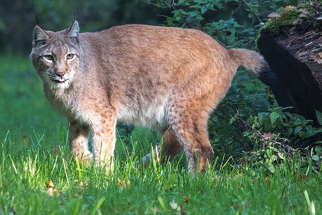 20151010 9314VRTw [D~H] Eurasischer Luchs (Felis lynx),Wisentgehege, Springe-Deister
