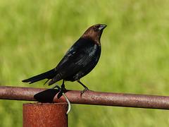 Brown-headed Cowbird male