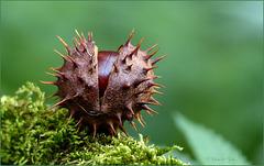 Horse chestnut (Aesculus hippocastanum)...