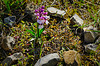 Kleine Orchidee mit Schutzwall - Small orchid with a stone circle