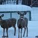 Mule Deer while Snowing
