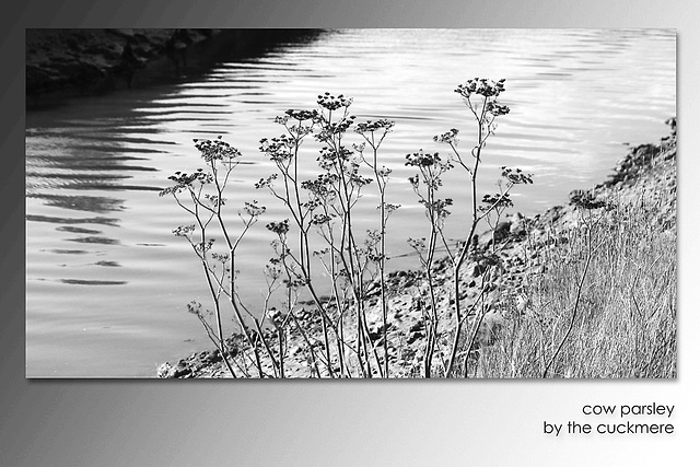 Cow parsley by the Cuckmere - 9.10.2015