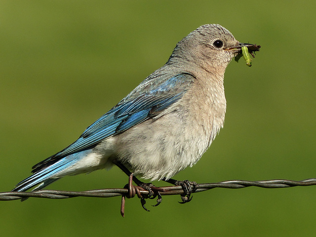 Mountain Bluebird with food for her babies