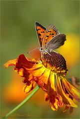 Orange Queen...