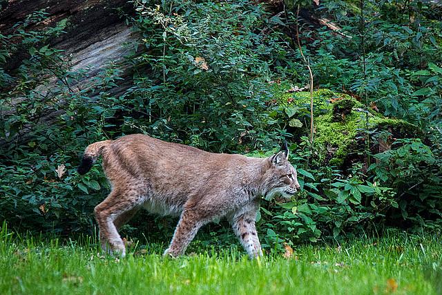 20151010 9316VRTw [D~H] Eurasischer Luchs (Felis lynx),Wisentgehege, Springe-Deister
