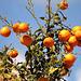 Belles oranges gorgées de lumiere.