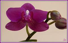 ** Mes orchidées **