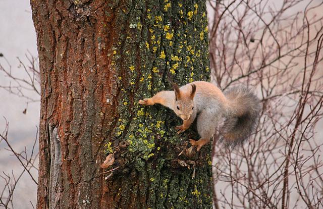 Orav / Squirrel