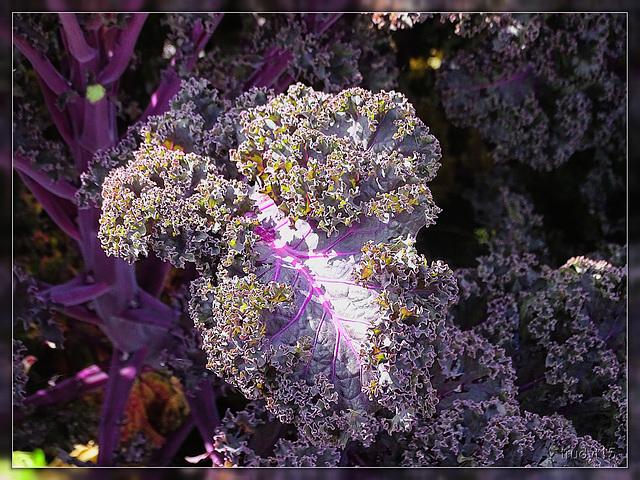 Paarse boerenkool, purple curlycale