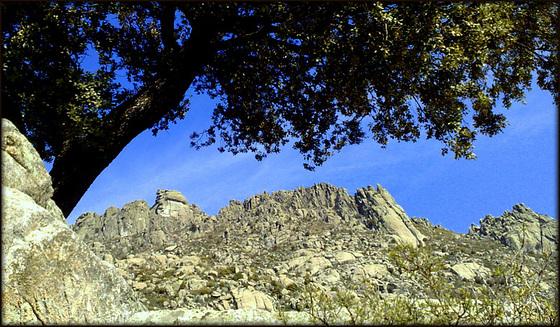 Iconic oak