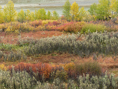 Fall colours near the Highwood River
