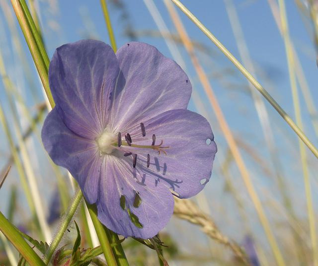 Blüte im Kornfeld