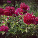 Roses de chine