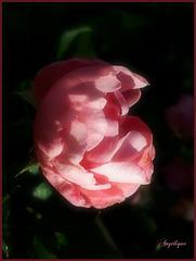 Rose de Novembre .......... bon jeudi mes ami(e)s