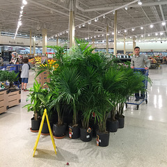 Bigbox discount store's potted palms for sale.