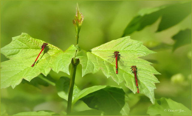 Large red damselfly ~ Vuurjuffer (Pyrrhosoma nymphula)...