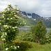 Norway, White Flowers in Lofoten Islands