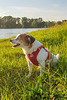 Jack Russel Terrier Clifford