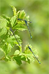 Azure damselfly ~ Azuurwaterjuffer (Coenagrion Puella) ♂ + ♀...
