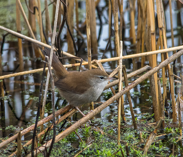A Cetti 's Warbler in the reeds at Burton Wetlands