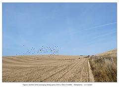 Startled pigeons Bishopstone 11 9 2020
