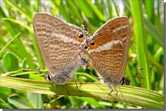 Lampides boeticus couple