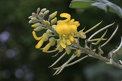 Silver Bush Flowers