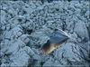 The grey heron (Ardea cinerea) 2008 S 1355 Sup3 11 ipernity 17.IX.2008. - Siva čaplja