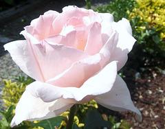 Rosas sem espinhos