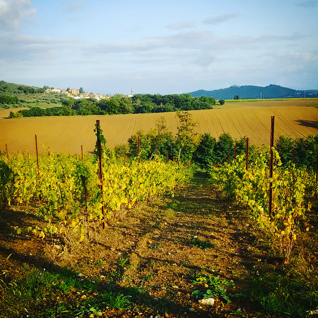 Our new vineyard in autumn.