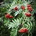 Les baies du sorbier des oiseaux ***  Rowan berries