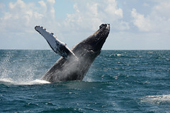 Dominican Republic, Pirouette Jump of Humpback Whale