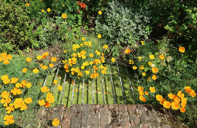 Eschscholzia and duckweed